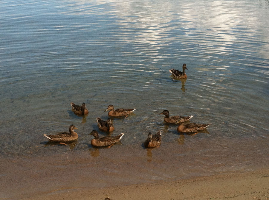 Group of Ducks on the beach shore of Deer Lake Grand Rapids MN